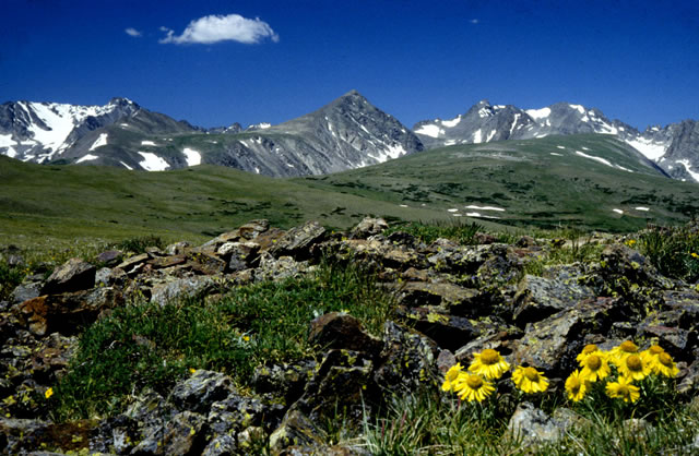 Niwot Ridge looking west towards (left to right) North and South Arapaho, Kiowa, Navajo, Apache, and Shoshoni Peaks . The flower in the foreground is Old-Man-of-the-Mountain  (Hymenoxis grandiflora).Ê Photo: B. Bowman.