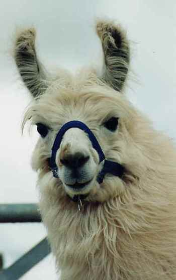 Not Homer, but still a fine llama