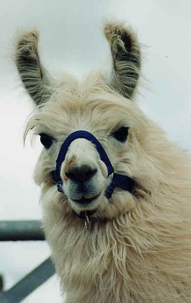 Not Homer, but still a fine llama