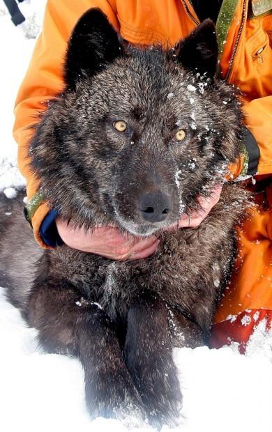 wolf716orange