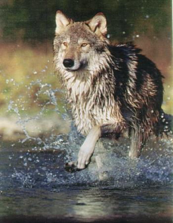 Affordable Health Care >> Western wolves mean water – Pied Type