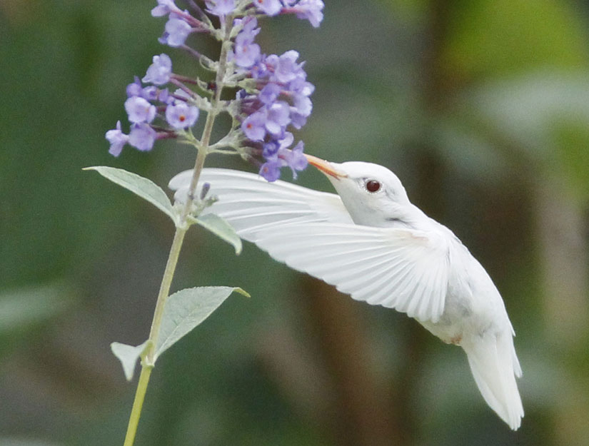 albino ruby-throated hummingbird Photo: Marlin D. Shank