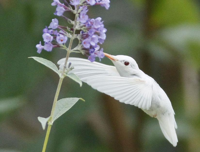 albino ruby-throated hummingbird Photo: Marlin D. Shank
