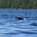 Bald eagle swimming