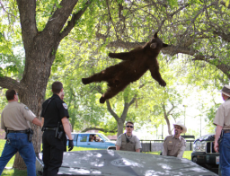 Boulder bear falls from tree after being tranquilized