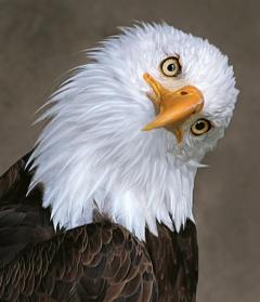 eagle puzzled