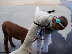 alpacas - Remmy and Hurley Wurley