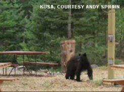 Foraging bear in High Park Fire zone