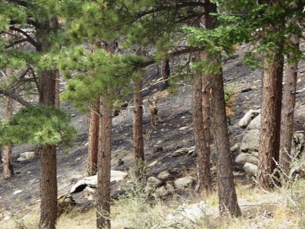 Deer in High Park Fire burn area