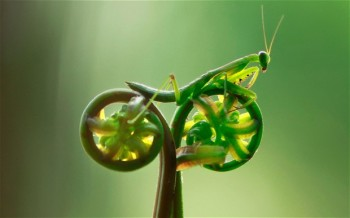 "praying mantis on fern ""bicycle"""