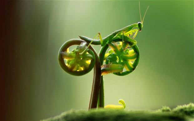 """praying mantis on """"bicycle"""""""