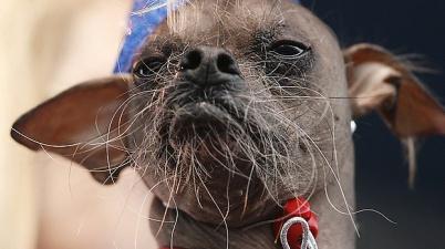 Mugly, World's Ugliest Dog 2012