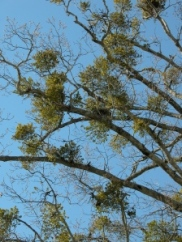 Mistletoe grows on tree branches like this.