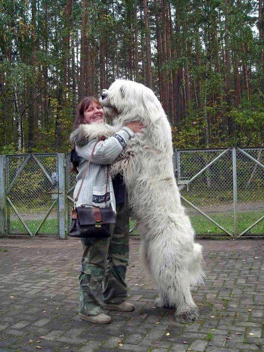 big white dog