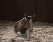 Budweiser foal