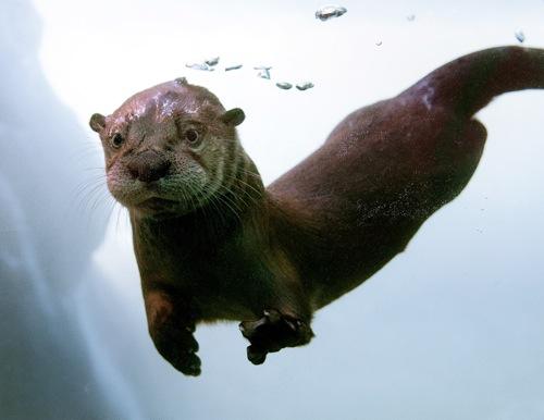 river_otter_AP_2
