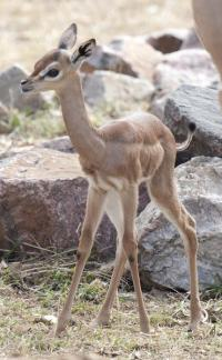 Meet Blossom, a new baby gerenuk at the Denver Zoo