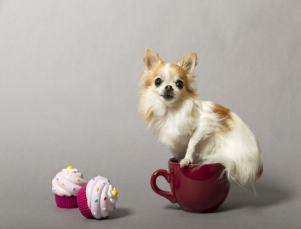 """Cupcake, a chihuahua measuring only 6.25"""", is the world's Smallest Service Dog. She's a therapy dog. (Credit: Philip Robertson/Guinness World Records 2013 Edition)"""