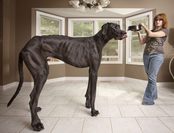This is Zeus the Great Dane, the world's Tallest Living Dog. He measures 3.67 ft at the shoulder. (Credit: Kevin Scott Ramos/Guinness World Records 2013 Edition)