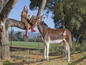 Oklahoma Sam, a 4-year-old American Mammoth Jackstock, is the Tallest Donkey. He's 15.3 hands. A hand is 4 inches, measured at the shoulder. (Credit: James Ellerker/Guinness World Records 2013 Edition)