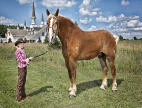 The Tallest Horse Living is Big Jake, a Belgian gelding. He measures 20 hands, 2.75 inches. (Credit: Kevin Scott Ramos/Guinness World Records 2013 Edition)