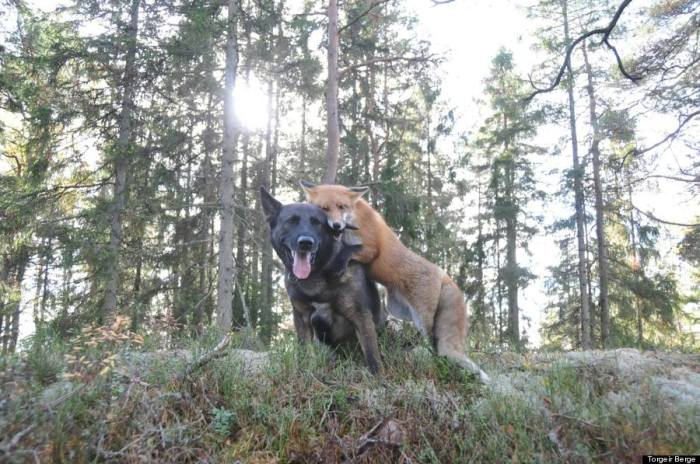 Tinni the fox and Sniffer the dog play in the Norwegian woods.