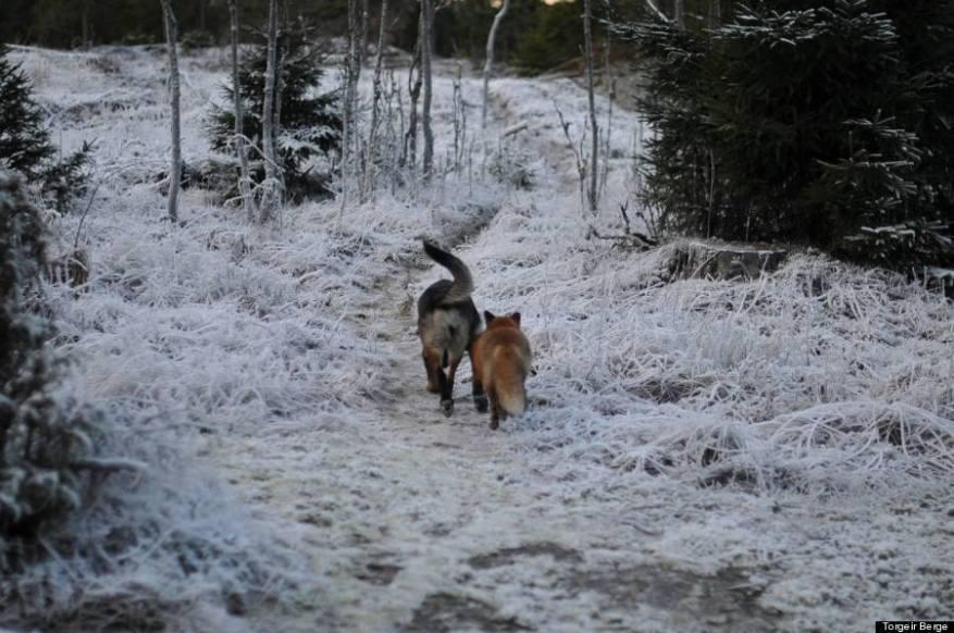 foxandhound3