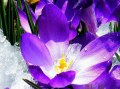 crocuspurple