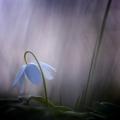ashyflower_flowerqt