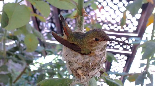 hummingbird nest cam begins hatch watch today pied type
