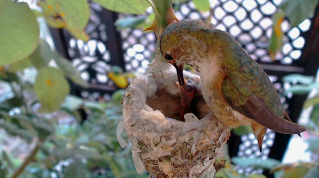 First feeding (Image: ustream.tv/hummingbirdnestcam)