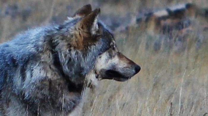 Echo, photographed in October on the North Rim of the Grand Canyon (Image: Arizona Game and Fish Department)
