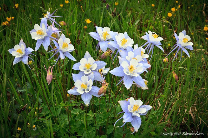 """""""Columbine Family"""" by Erik Stensland. Columbines, Colorado's state flower, flourish in the Lion Lakes area of Rocky Mountain National Park. Copyright by Erik Stensland. Used with permission."""