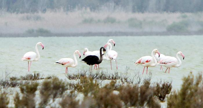 A black flamingo was seen last week on the island of Cyrus. Photo: Marinos Meletiou/Reuters