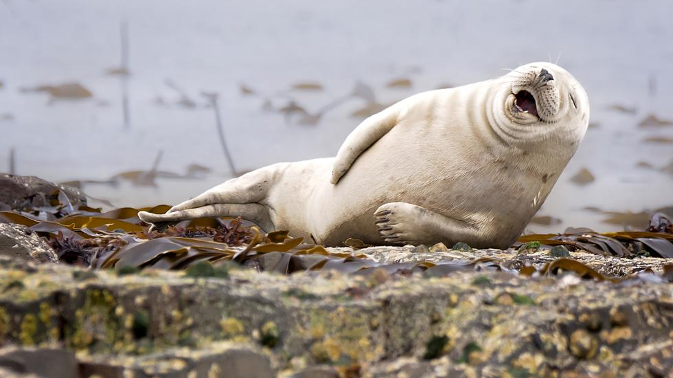 laughingseal