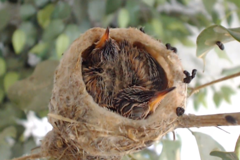 Bellahummingbird