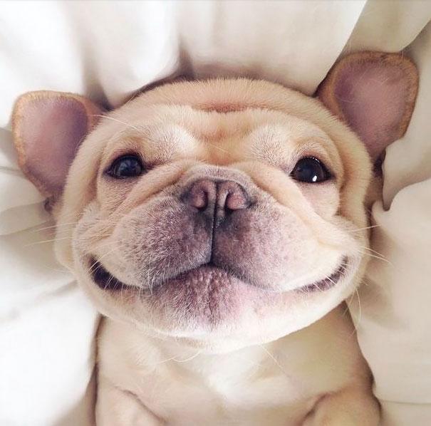Happy Frenchie