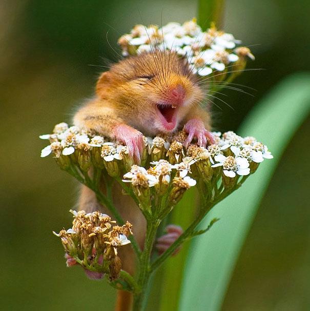 Happy dormouse