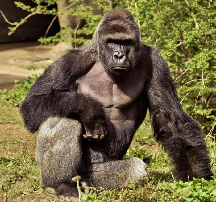 Undated photo of Harambe. (Courtesy Cincinnati Zoo)
