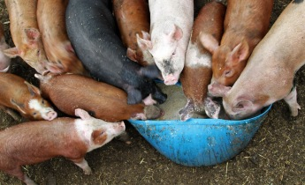 Pigs at the trough, lawmakers in Washington