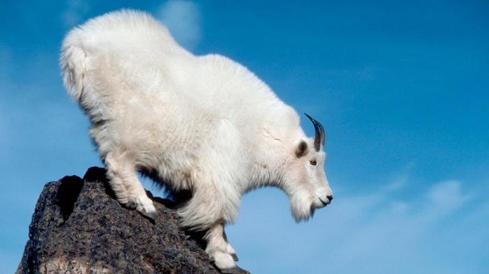 rockymountaingoat