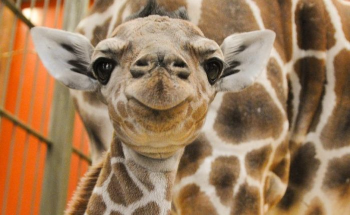 Meet Dobby, the Denver Zoo's new giraffe (Photo: Denver Zoo)