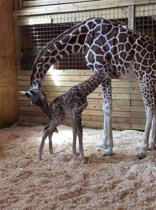 April the giraffe with newborn calf