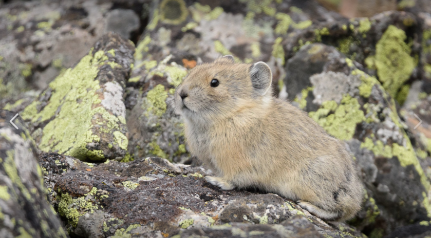 Pika in Rocky Mountain National Park. © Erik Stensland. Used with permission.