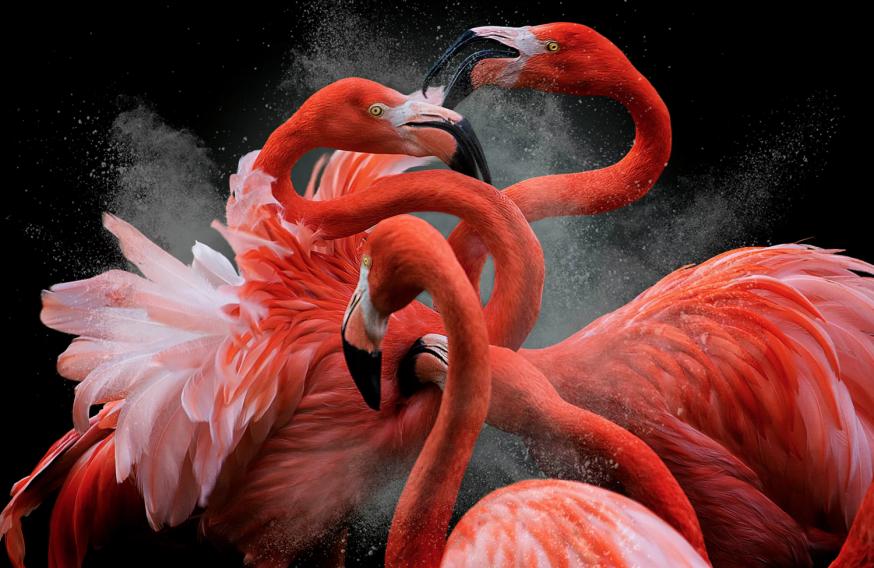 Bird photographer of the year winner and creative imagery category winner American flamingo,Phoenicopterus ruber, by Pedro Jarque Krebs, Peru.