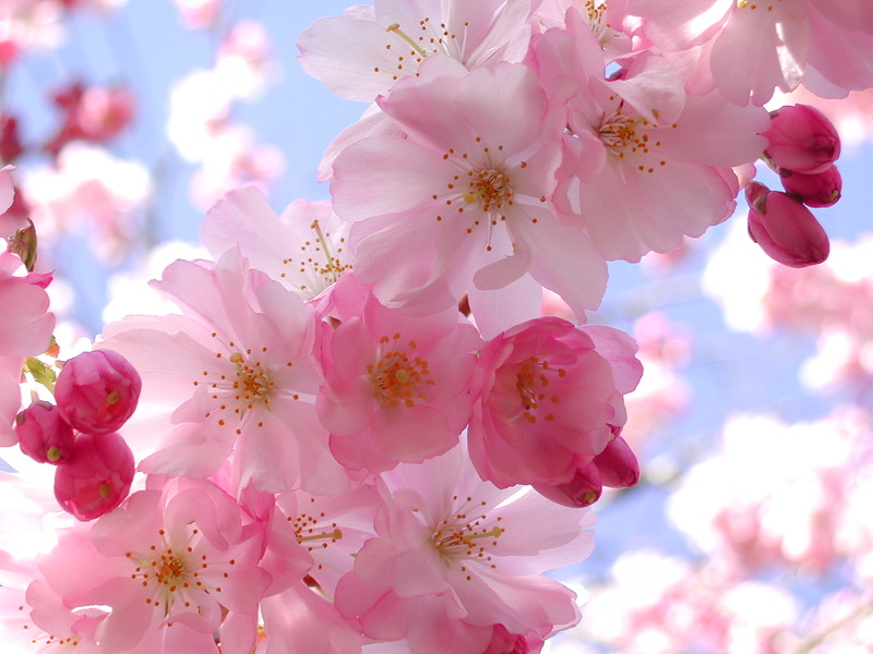 Sakura, the cherry blossoms