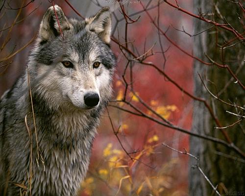 wolf2sm1