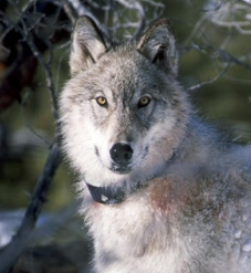One of the Yellowstone pack